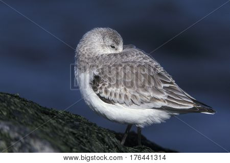 A Sanderling, Calidris alba in winter plumage sleeps along a rocky shoreline