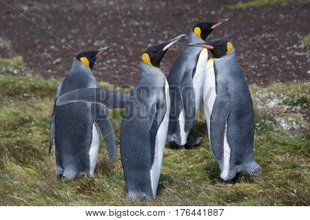 King penguins gathering on Stromness, South Georgia