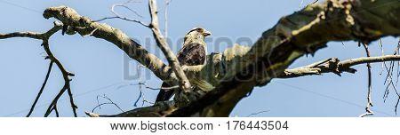 Hawk On A Tree Branch
