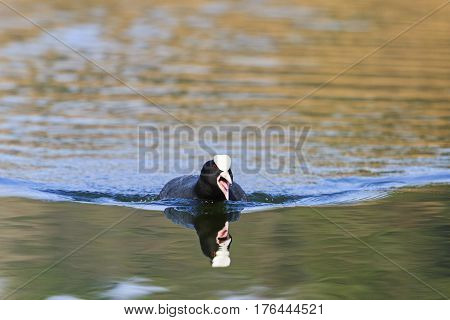 coot protects its territory, black bird, spring dance, waterfowl, spring mating game