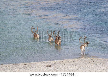 Herd of reindeer crossing the sea in summer in arctic Norway
