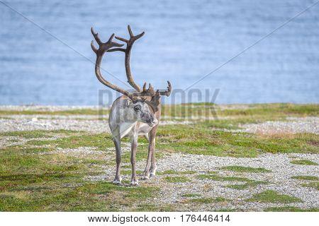 Reindeer in summer in arctic in Finnmark, Norway