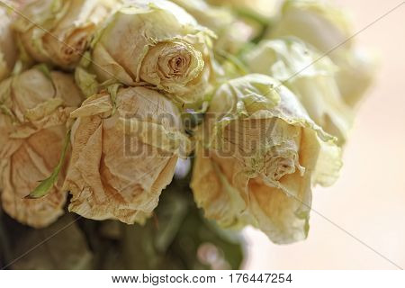 Close up of faded dry white rose. Withered flowers. Macro and selective focus.
