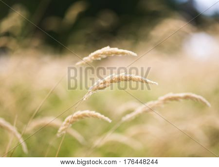 Golden wheat stalks sway and bend in the wind on a summer day.