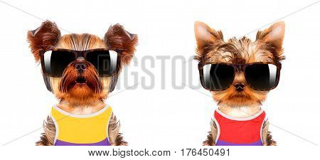 Funny dogs wearing t-shirt, hat and sunglasses. Party and celebration concept
