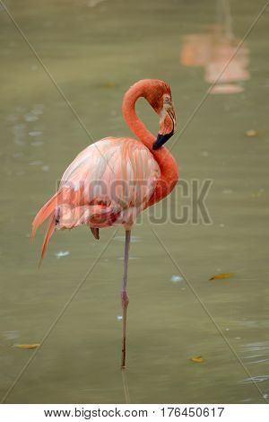 American Flamingo is standing on one leg in pond
