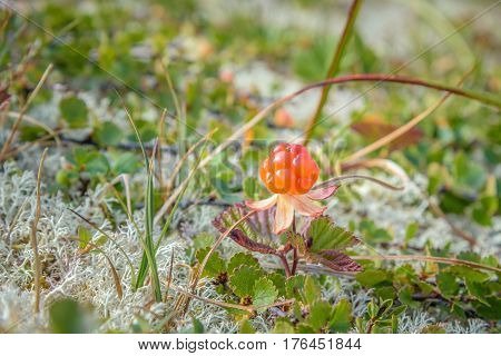 Close up of a single, orange cloudberry in the wild nature