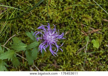 Wild Greater Knapweed Flower or Centaurea scabiosa blossom in Rila mountain, Bulgaria