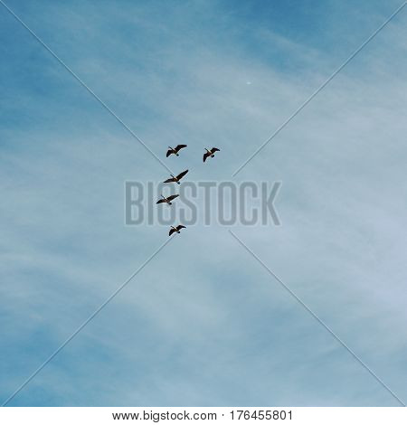 Flock of geese flying high in blue sky with light white cloud cover. Five birds flying high in sky.