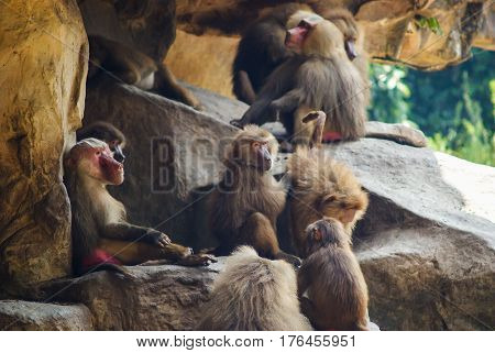Red butt Baboons sitting on the and picking bugs out of hair Singapore Zoo