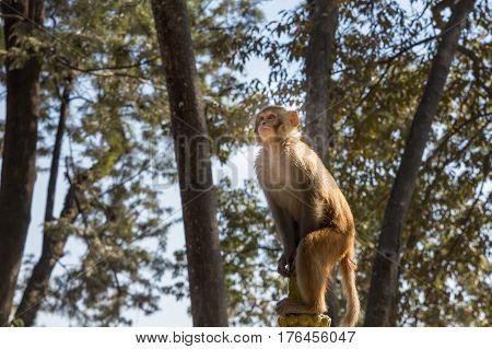 Rhesus Macaque Monkey at Swayambhunath Temple, Kathmandu, Nepal