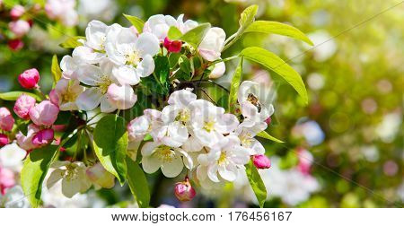 Beautiful apple blossom isolated on green.White flowers of the apple tree.