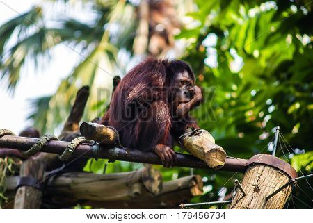 А bored orangutan misses a Singapore zoo