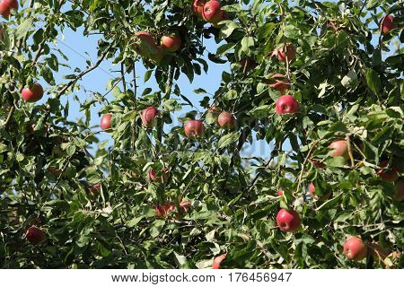 Ripe red apples hanging tree apple orchard