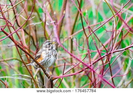 Song bird and spring forest bushes branches.