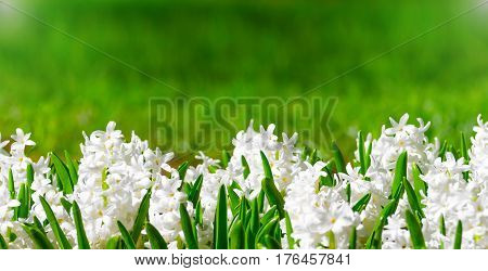 Spring white hyacinths with green leaves and an abstract background for text.