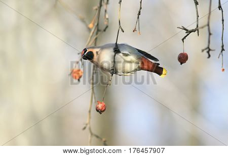 funny bird the Waxwing hanging on a branch with apples in the Park on a Sunny day