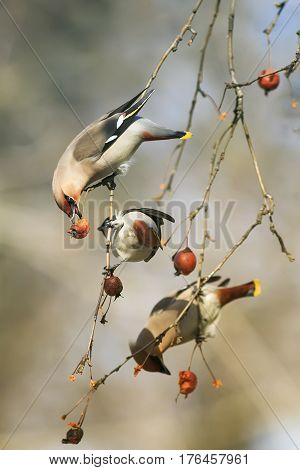 birds funny waxwings eating apples in the Park sitting on a branch