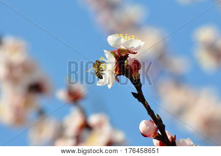 Trees in full bloom in spring, Peach branches in full bloom