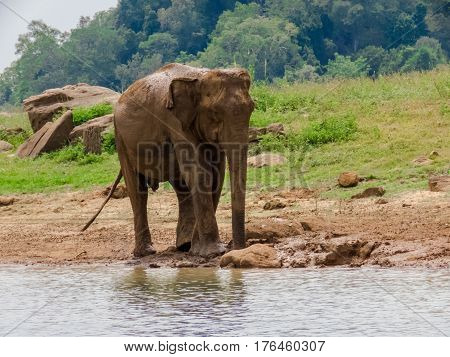 Giant Asian Elephant having a Mud water muddy bath as a sunscreen and insect repellent near lake riverbed in a National Park in Sri Lanka