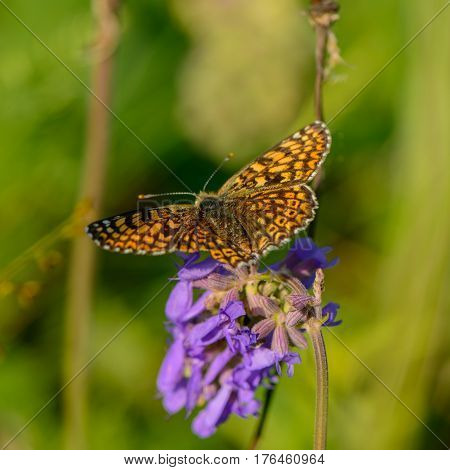 beautiful butterfly collects nectar from meadow flowers. Ukraine. Europe.