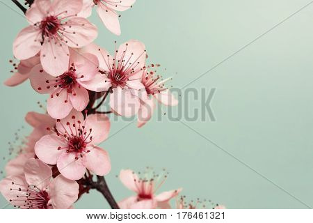 Spring Time - Cherry Blossoms on Cyan Background