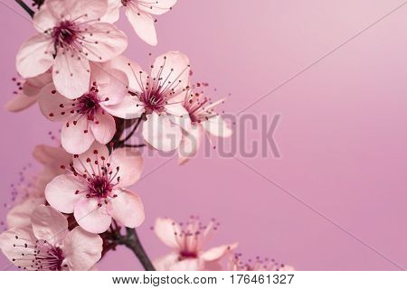 Spring Time - Cherry Blossoms on Mauve Background