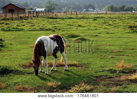 As evening draw near a pony grazing in a pasture begins to take on a glow on a fall day in rural Crook County in Central Oregon.
