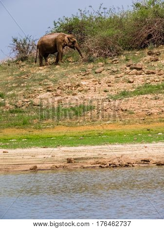 Isolated standing asian elephant and its reflection on water in gal oya national park Sri Lanka