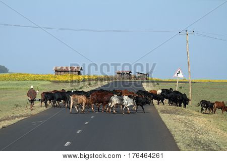 Cattle breeders with its cattle herd in Ethiopia, 02.  November 2012
