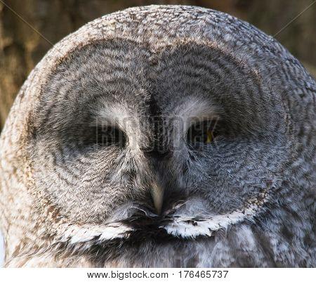Head of Great grey owl - Strix nebulosa