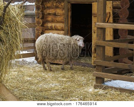 Sheep in a corral near barn. Winter, snow. Barn door is open