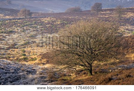 Riped heathland near the Posbank in the Dutch National Park Veluwezoom near the village Rheden