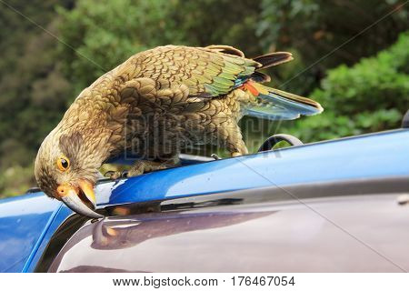 kea, a new zealand native green parrot, damaging the blue car, location - Wellington, South Island, New Zealand