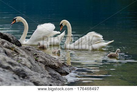 Swans Family With Cygnets At Hallstaettersee Lake. Hallstatt, Salzkammergut Region, Austria