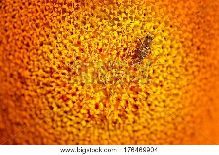 Photo of bright macro sunflower with bees in summer