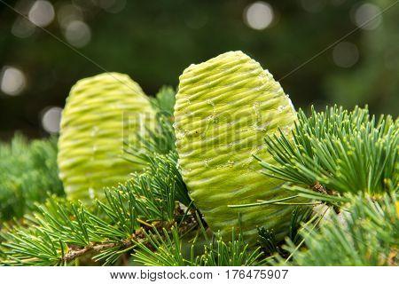 two green pine cones - Cedrus deodara tree