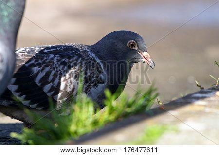 A juvenile feral pigeon next to a tuft of grass