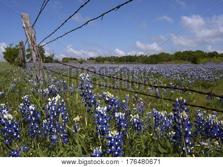 Wildflower bluebonnets grow under a barbed wire fence and in the field of a central Texas ranch in the spring..