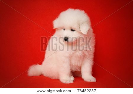 Cute White Puppy of Samoyed Dog on Red Fabric Background. White Laika Puppy for your animal designs.
