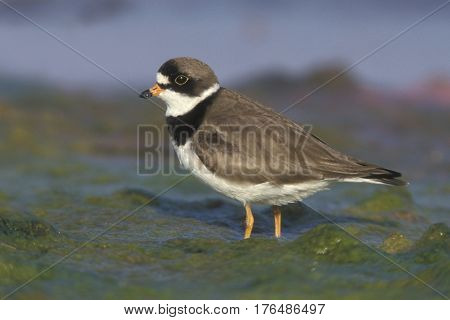 A Semipalmated Plover, Charadrius semipalmatus in breeding plumage on a coastal mudflat