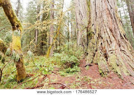 Redwood National And State Parks California Ca Usa