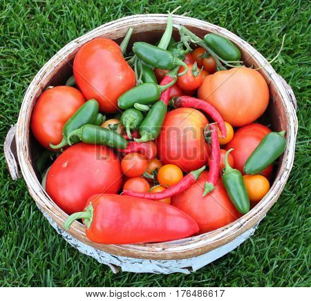 Basket of Fresh Garden Tomatoes and Peppers
