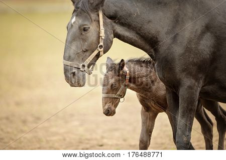 Foal With His Mother. Horse With Colt On Grassland