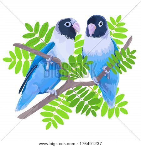 Pair of blue masked lovebirds. Two small parrots isolated on white background