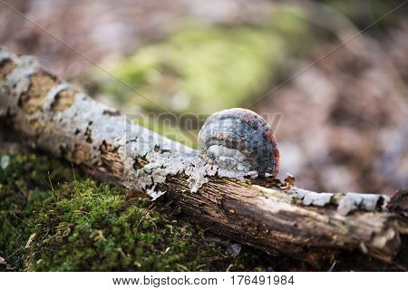 Fomes fomentarius on the tree in the wood background. Early spring