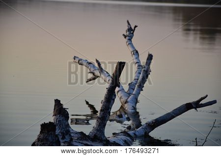 felled birch is in the water. Branches reflected in the lake. the tree goes under the water