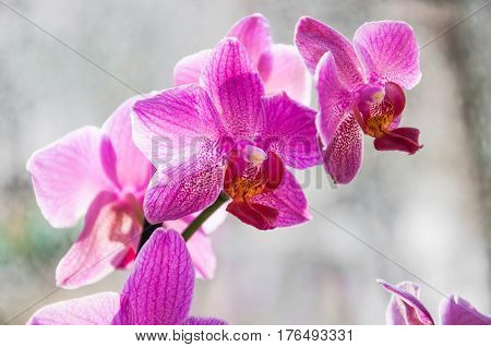 Pink flowers Orchid (Phalaenopsis) on a light background