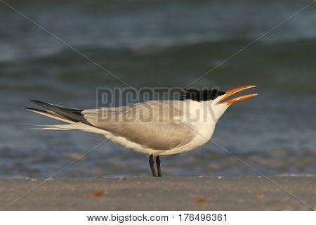 A Royal Tern, Thalasseus maximus near the shoreline on a beach in Florida