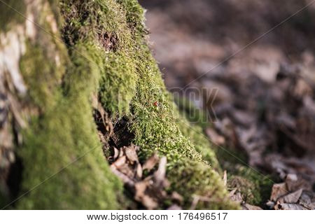 Old stump covered with moss and cuckoo on it. Forest environment.